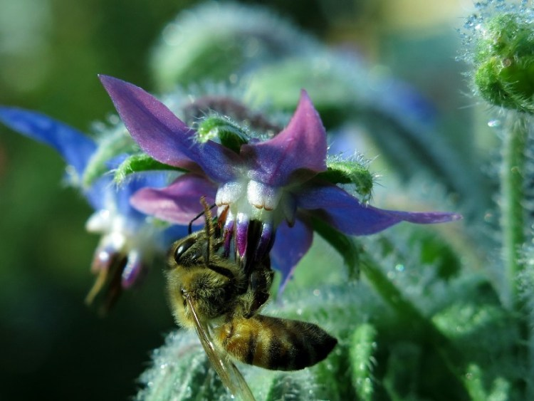 Growing borage in your garden will attract bees and pollinating insects