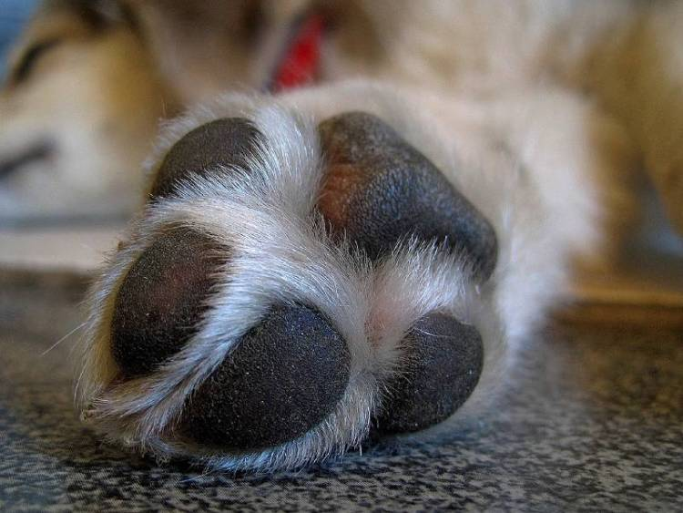 What causes cracked paw pads?