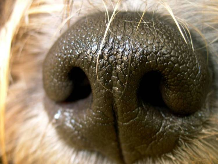 A natural dry dog nose remedy