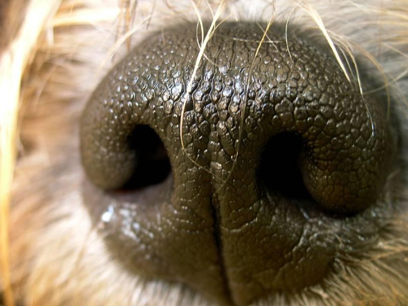 dog nose wax