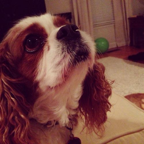 Photo 1/365 - Breaker the Instagrammable Cavalier King Charles Spaniel {iphone, instagram}