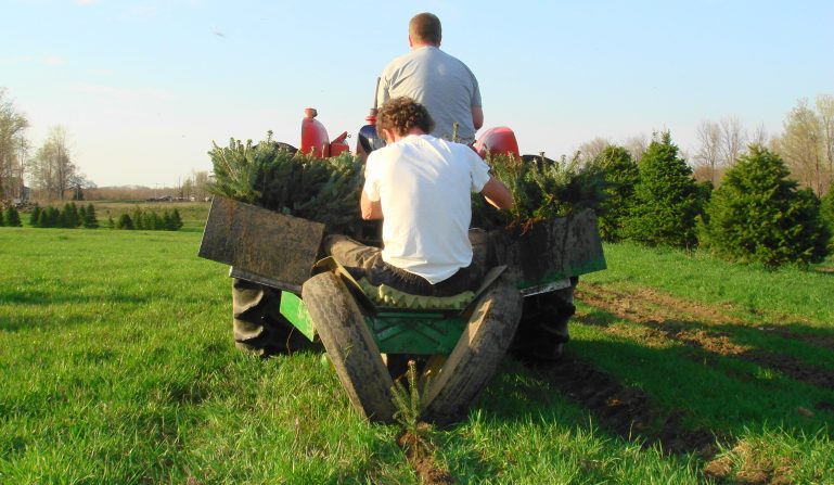 Variety Farm Fresh Christmas Trees Grown In Ny State