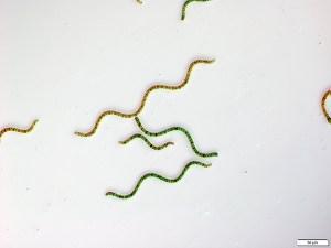 Spirulina at 50 micron magnification - Spirulina under the microscope