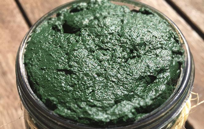 Fresh raw spirulina in a jar - fresh spirulina manufacturing
