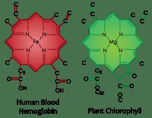 Plant chlorophyll molecule vs. Human hemoglobin molecule