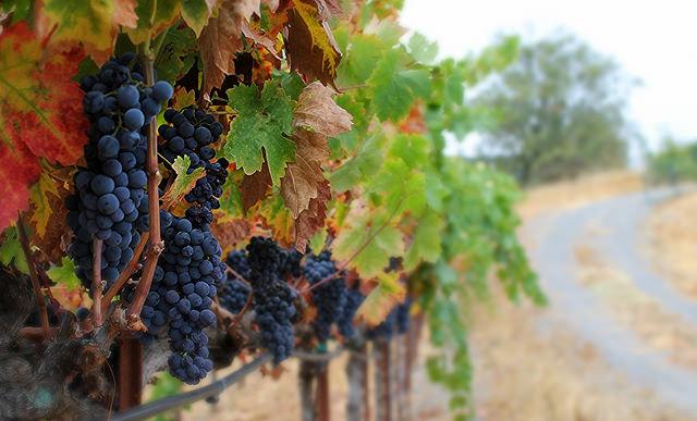 Mastro Scheidt Vineyard