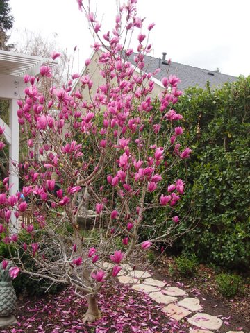 These magnolia trees should be fertilized 2-3 weeks after they have bloomed. They should also be pruned within that time frame.