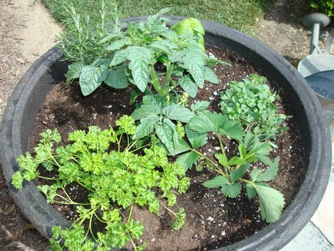As a first time herb grower, I combined a tomato plant, a strawberry plant, rosemary, oregano, and parsley all in one container. Not only do they have differing water needs, the rosemary alone could fill this pot! Be sure to put like herbs together.