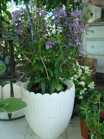 Purple Angelonia prettying up a milk glass vase.