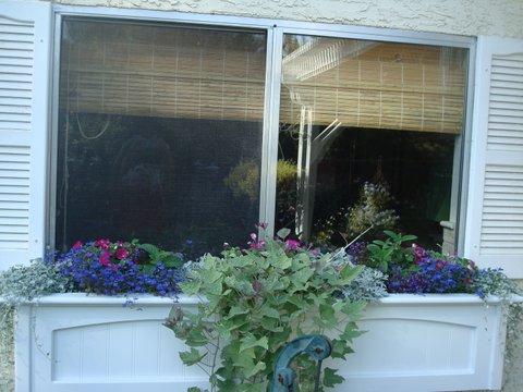 Tri-color Sweet Potato vine spilling over the edge of a window box.