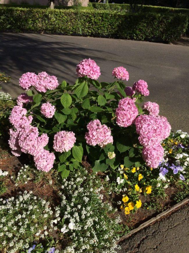 Hydrangeas on Fig Garden