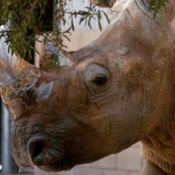One of two white rhinos that will be delighting visitors in African Adventure (photo by Fresno Chaffee Zoo)