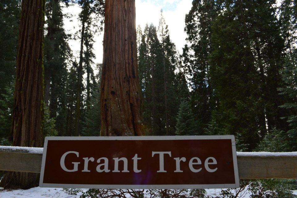 Grant Tree in Yosemite