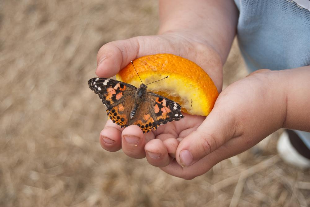 Butterfly on an orange