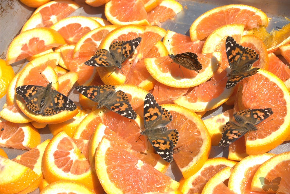 a bunch of butterflies on orange slices at the Mariposa Butterfly Festival