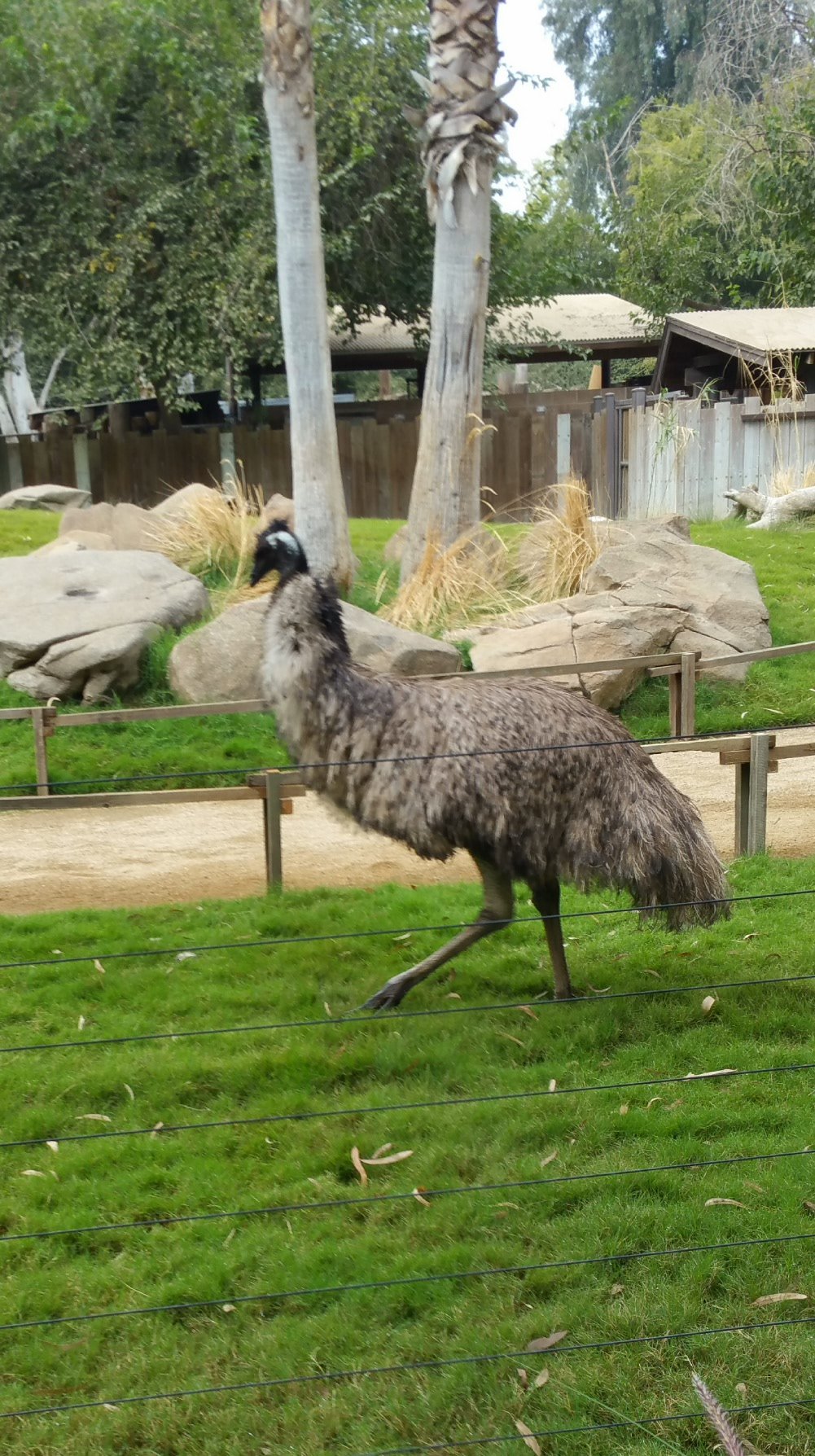 Emu. Not to be confused with Emo.