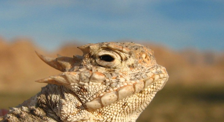 Coalinga's Horned Toad Derby Promises Cow Drops, Seed Spitting, and Odes to a Toad (of sorts)