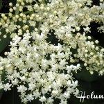 Holunderblüten und Apfelscheiben, gebacken – vegetarisch