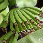 Nektarinen Bananen Lassi #vegetarisch