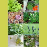 Kleine Garten Kräuter-Kunde