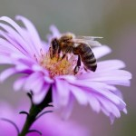 bee, insect, flower