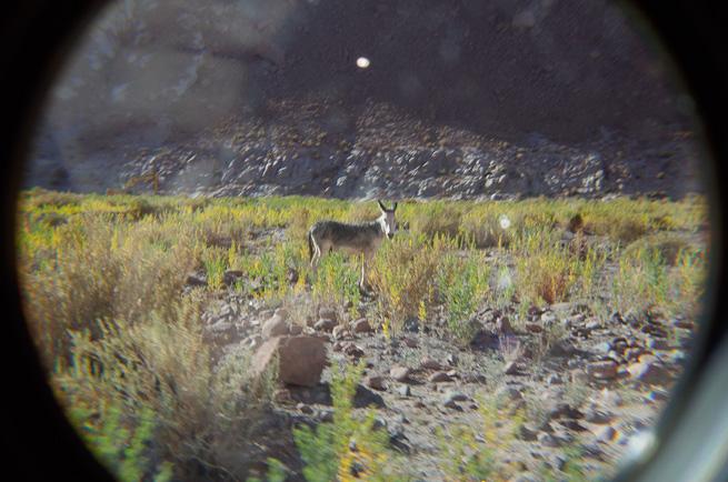 A Wild Donkey in the Atacama Desert, Chile