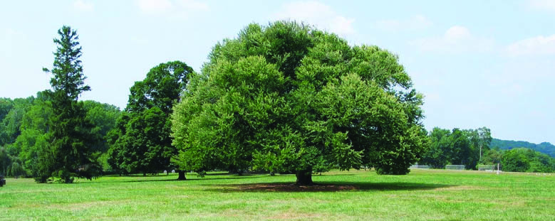 Old katsura tree.