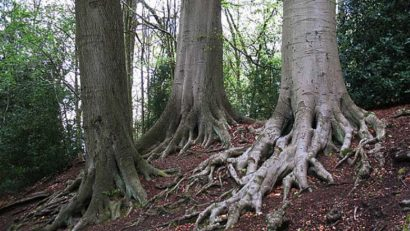 "Beech tree roots, <a href=""http://www.geograph.org.uk/photo/1846713"">Creative Commons © by Stephen Craven</a>."