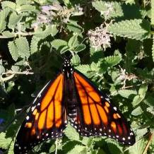 A monarch butterfly on Monarch butterfly on an anise hyssop in the author's garden.