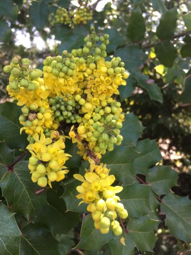 Mahonia in bloom. May 6th, 2017