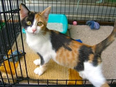 Three Calico Kittens