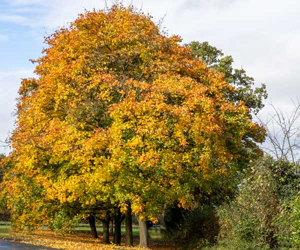 Tree in Autumn colours