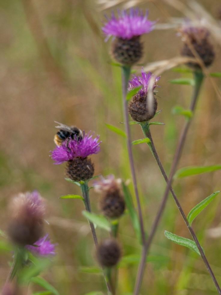 Bee on Knapweed