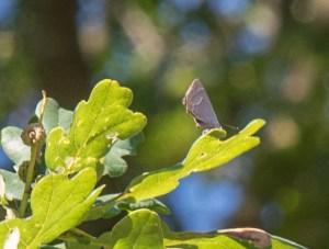 Purple Hairstreak in Oak Canopy