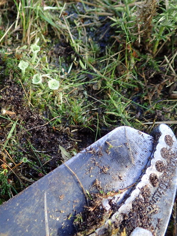 Pixie-cup lichen with tool