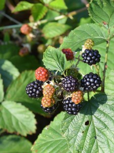 Luscious Blackberries