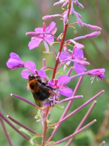 Bee Feeding on Rosebay Willowherb