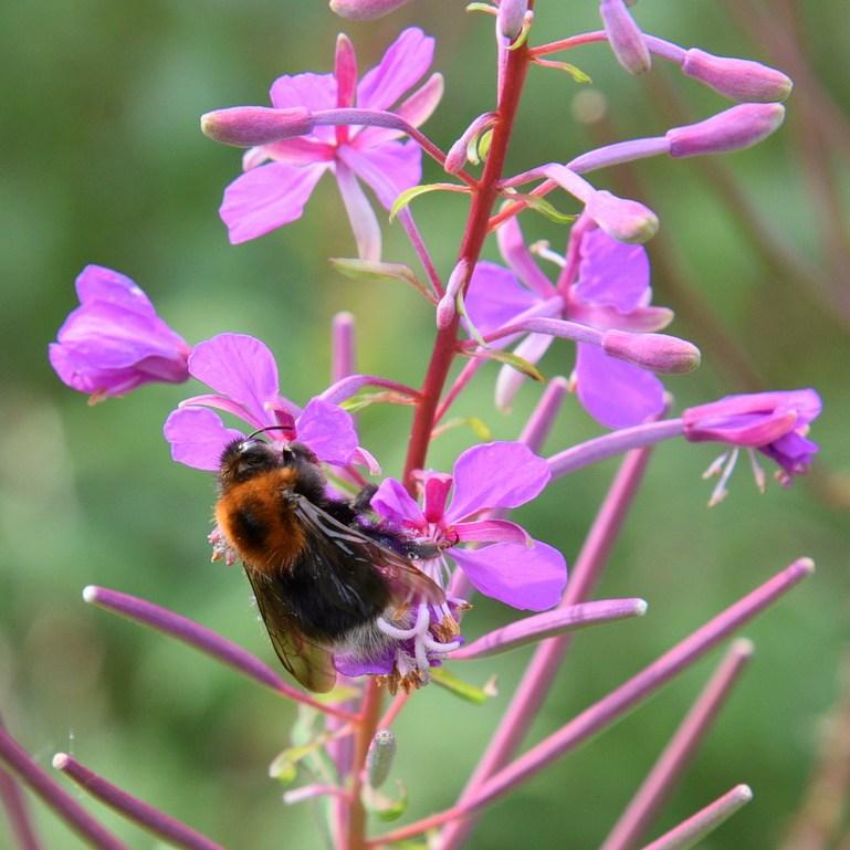 Bee Feeding on Rosebay Willowherb