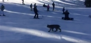 A Canada lynx lumbers across Purgatory Resort Screenshot of video taken by Airrick Hix