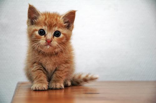Babykatze (Foto: josephsardin/Flickr)