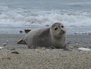 Seehund (Hühnerauge//Flickr)