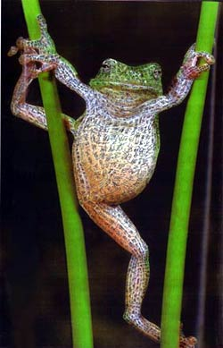 hot frog