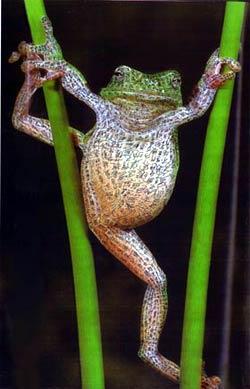 hot frog