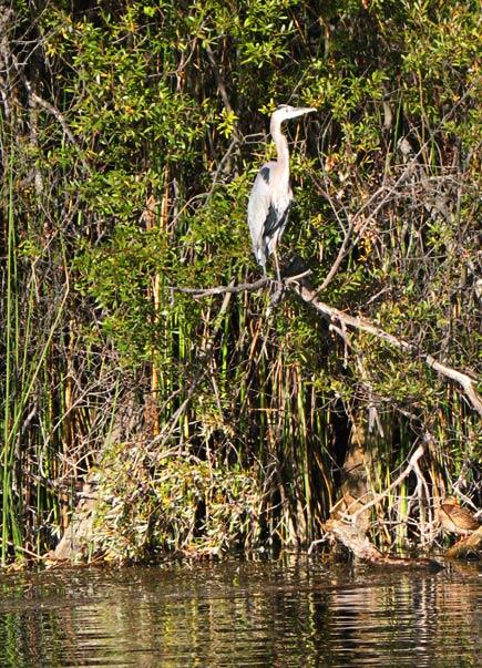 great blue heron at lafayette reservoir