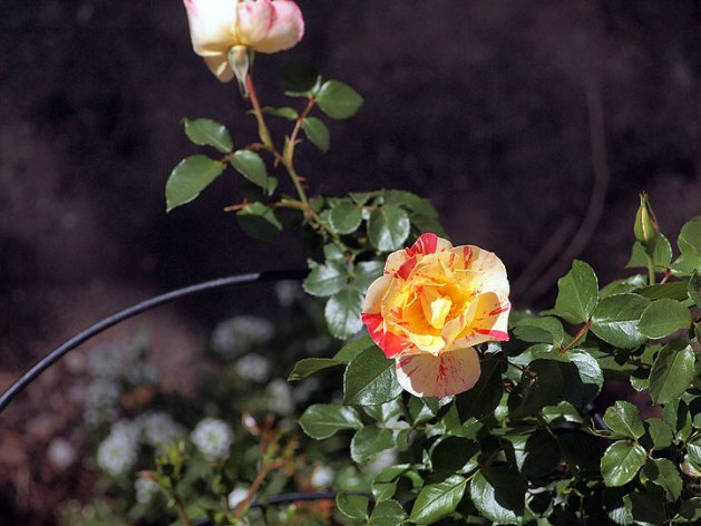Citrus Burst Rose