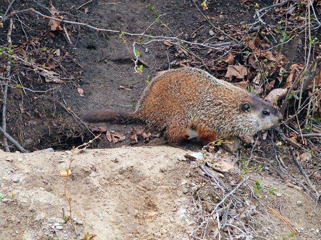 groundhog at Slater Mill