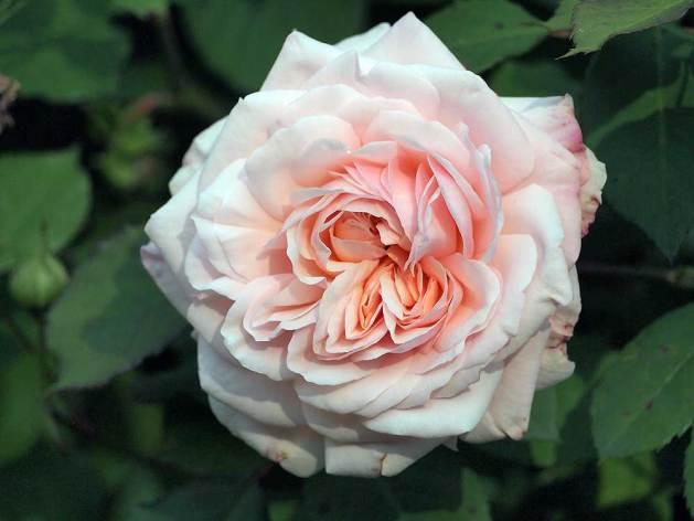 Grüss an Aachen Rose flower.
