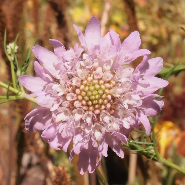 Scabiosa anthemifolia flower.