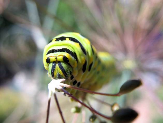 Swallowtail caterpillar.