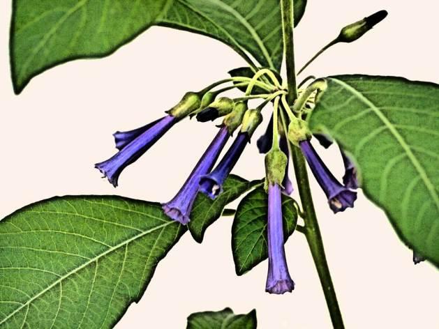Iochroma cyanea 'Royal Blue'